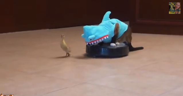 Viral: Cat in a Shark Suit Riding a Roomba and Chasing a Duck