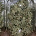 emerald cup jars of weed