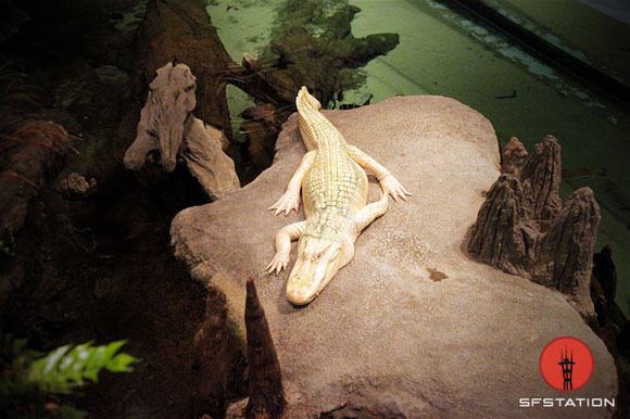 Albino alligator at the Cal Academy of Scienes