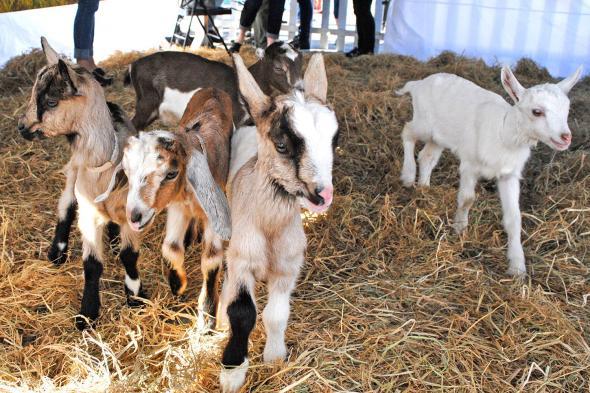 cuesa_goat_fest_goats3