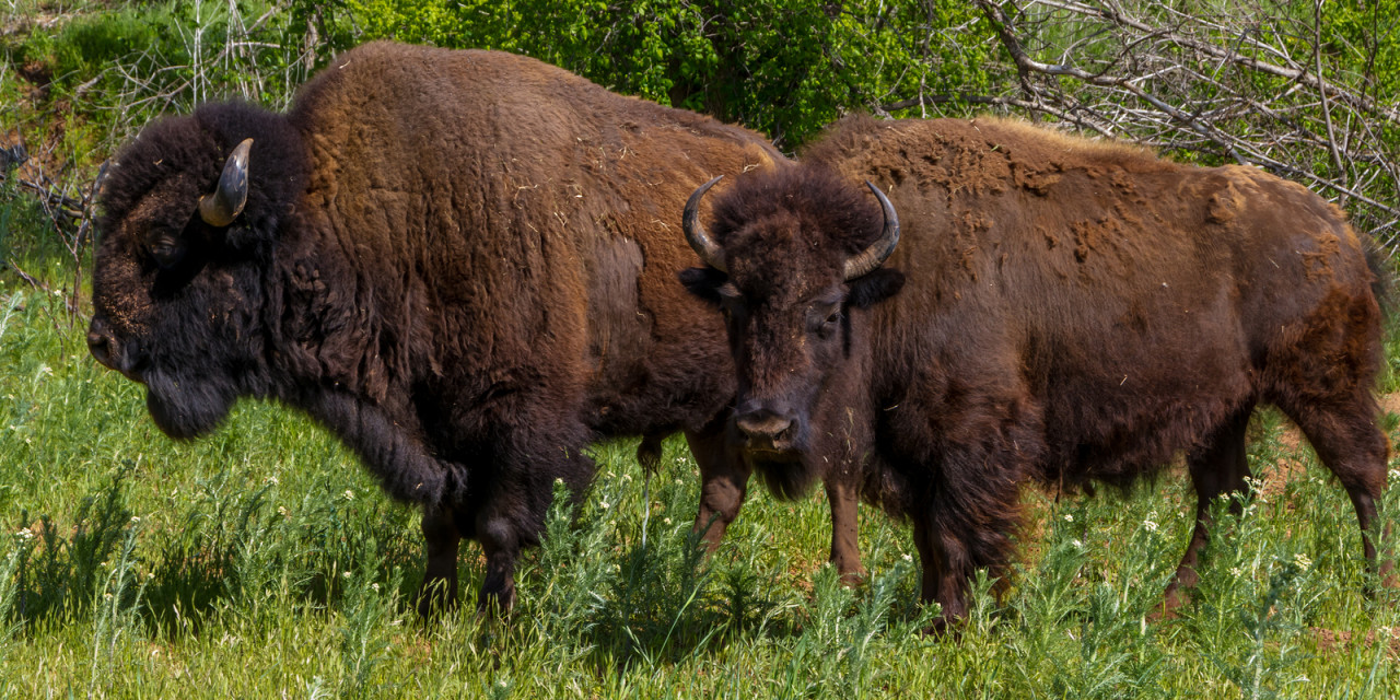 An American Bison, aka Buffalo.