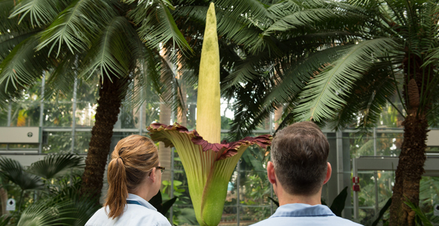 An example of a corpse flower at the US Botanic Garden, Photo via Architect of the Capitol