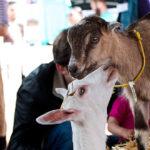 goat_festival_main