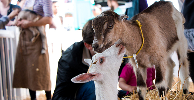 Smily, Cuddly Goats are Baaack for Goat Fest
